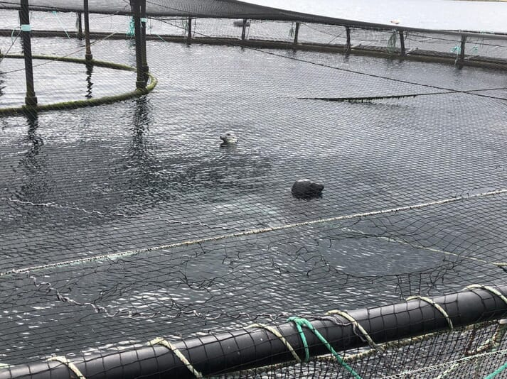 These seals have entered fully stocked salmon pen having hauled out on the cage walkways and then chewed their way through the bird netting