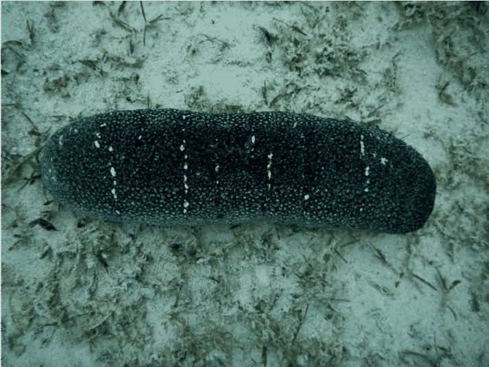One of the two seagrass species investigated proved to be a suitable food for European sea cucumbers
