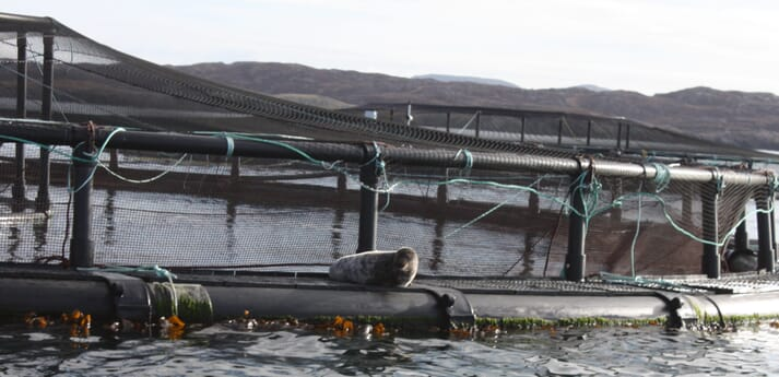 Predation by seals can be a major issue at some salmon farms