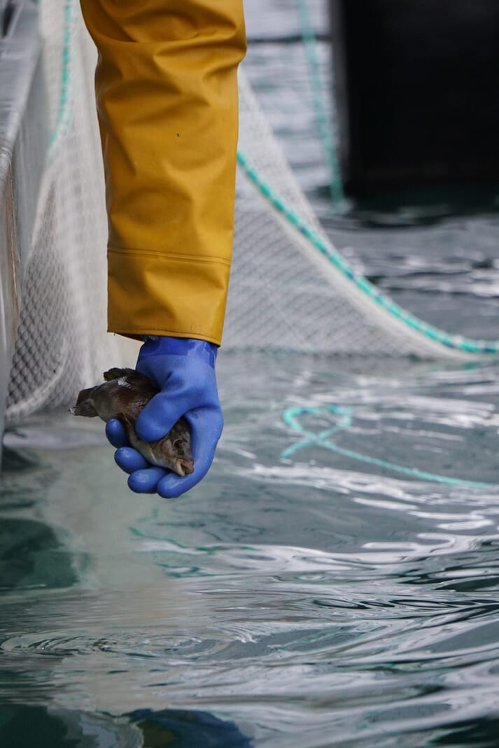 Wester Ross use wild-caught wrasse to remove sea lice from their salmon