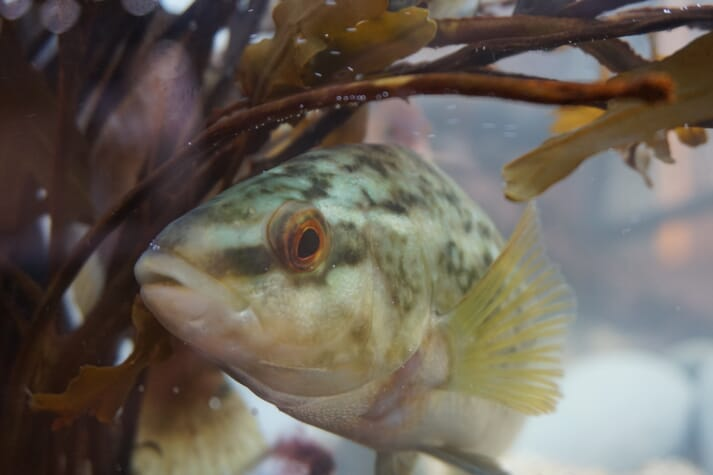 The salmon sector's impact on wrasse stocks is largely unknown