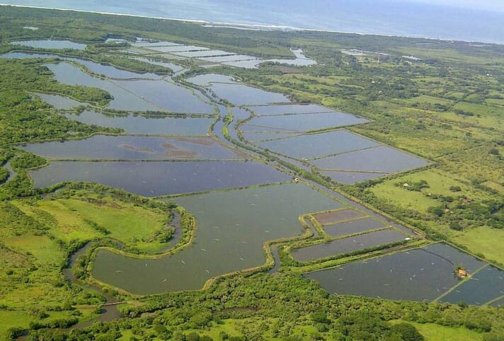 Acuamaya's Mayasal Farm with the original intensive ponds in the foreground and the new intensive project area at the upper end of the farm