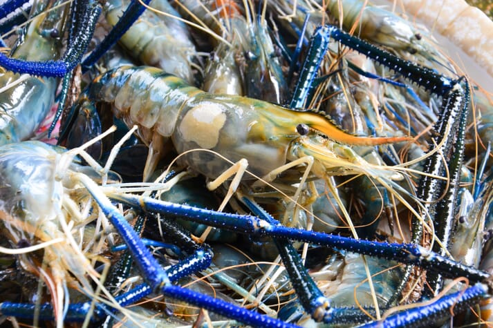 Feed bills for giant river prawns (Macrobrachium rosenbergii) can be reduced by 20 percent by including waterthyme in their tanks