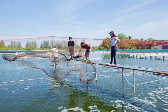 Shrimp farm technicians standing on a platform on top of a shrimp pond, throwing a net into the water