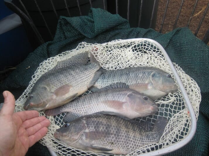Tilapia are also produced in the system