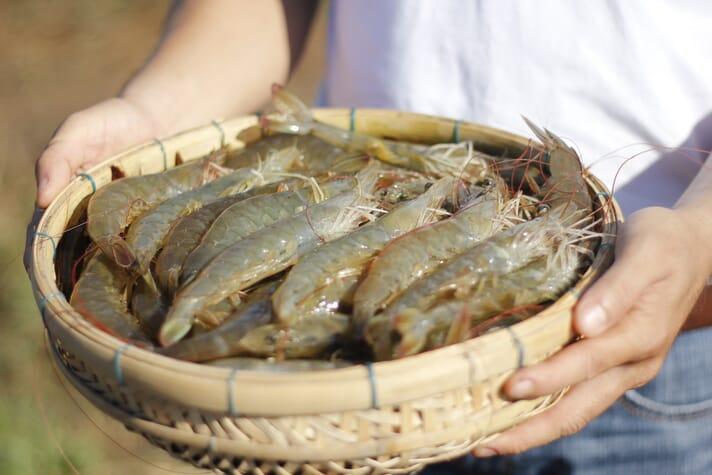A basket of vannamei shrimp