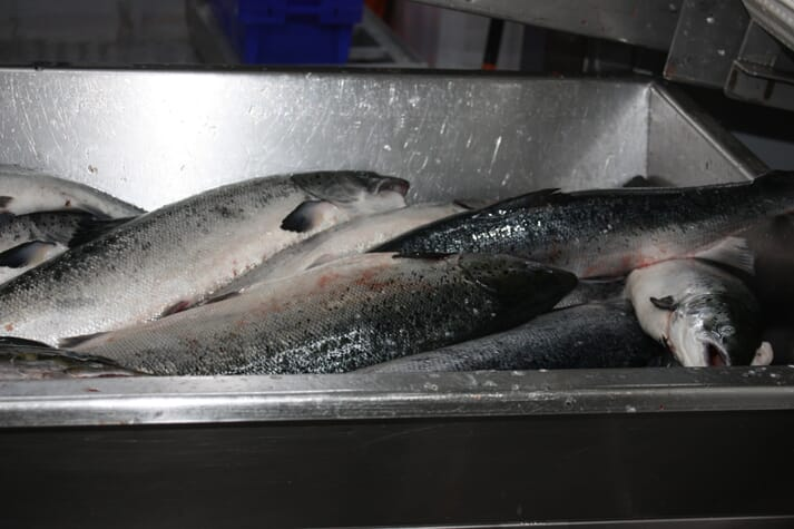 The effluent from salmon processing facilities is causing some concern