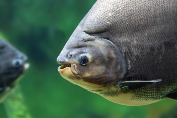 The black pacu (known in Suriname as the tambaqui) is a popular native species in Amazonia