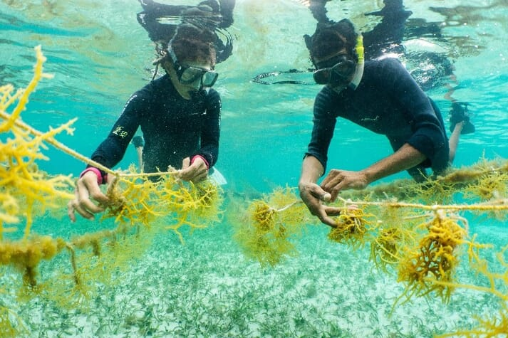 Divers check on seaweed lines at farm in Placencia, Belize