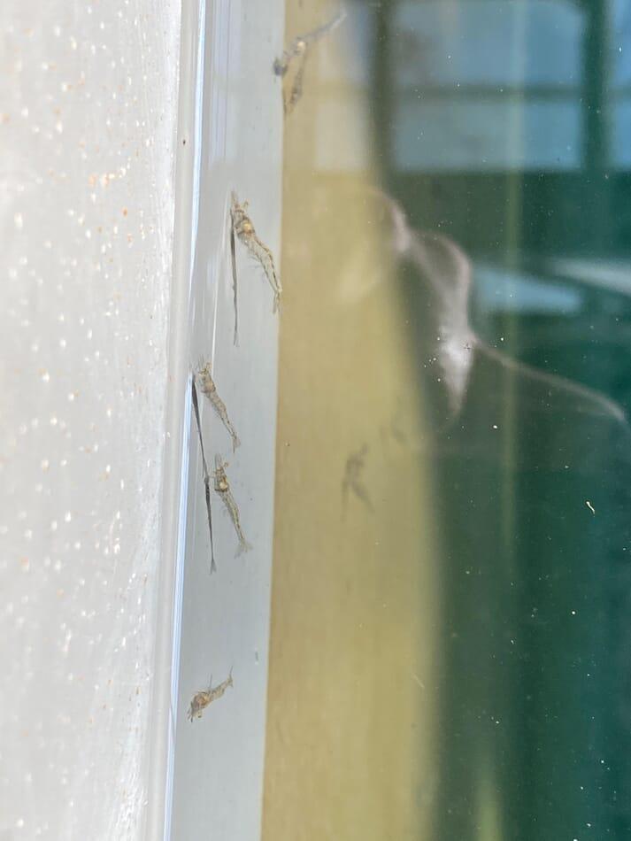 A juvenile shrimp at the pilot facility in Singapore