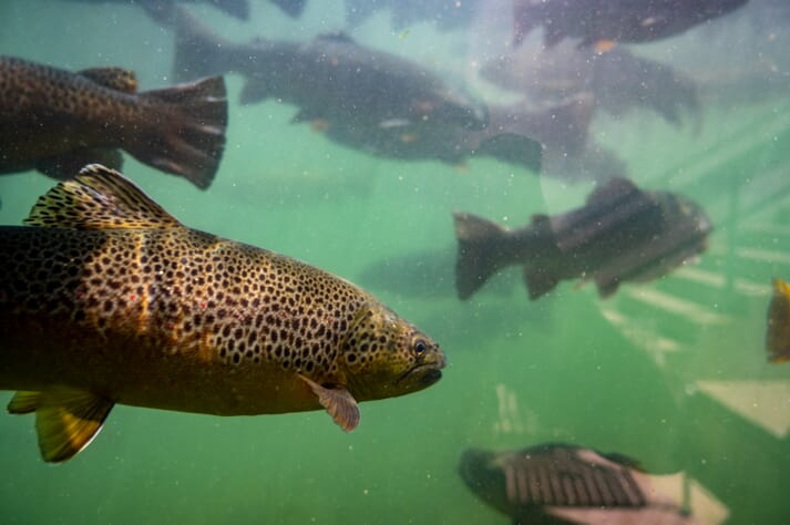 trout swimming underwater