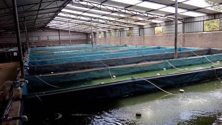Flosell Farms produces two million tilapia fingerlings a week