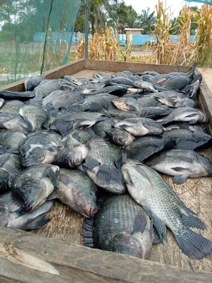 pile of recently caught Nile tilapia on a wooden table