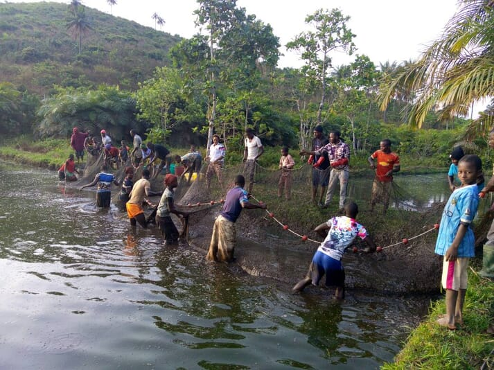 Harvesting fish in Sierra Leone