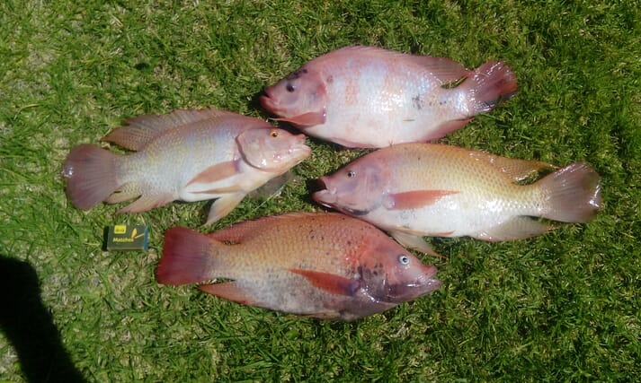 Thai and Taiwanese red tilapia produced at Rivendell