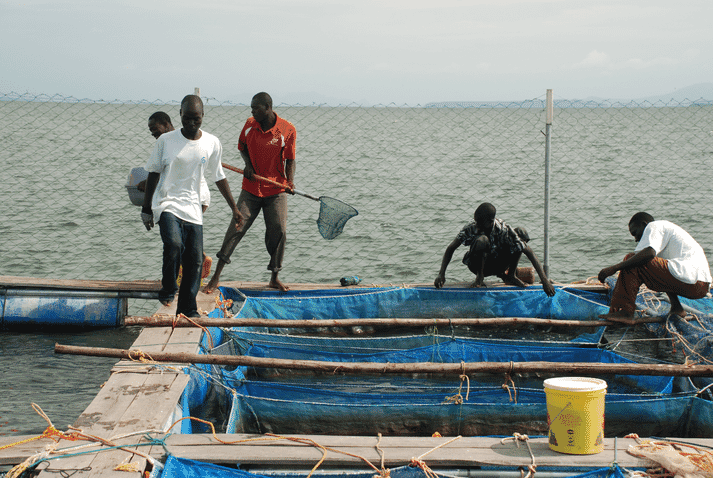 African Blue has grown to produce 200 tonnes of tilapia a year from cages on Lake Victoria