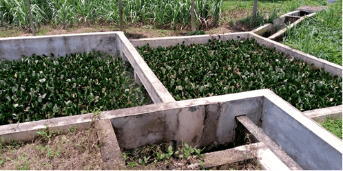 A constructed wetland for treating effluent from concrete ponds used to grow African catfish in Nigeria