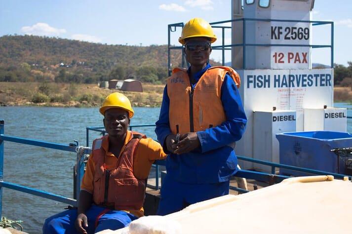 Lake Harvest, Zimbabwe's biggest fish producer, harvests 20-30 tonnes of tilapia per day