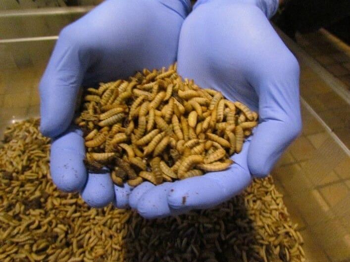 Turning BSF larvae...