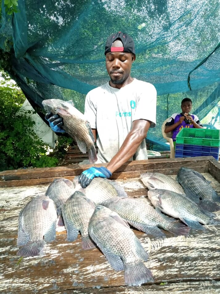 ISKN and Covid-19 have made business tough for Enoch and his fellow tilapia producers around Lake Volta, but prices for their fish have increased