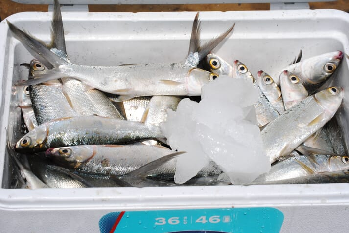 Milkfish  are native to the Kenyan coast