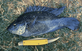 Some fear the Mozambique tilapia is at risk of hybridisation