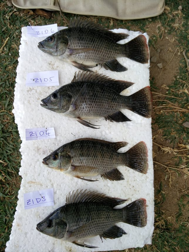 Nuermous species of tilapia are farmed in Africa