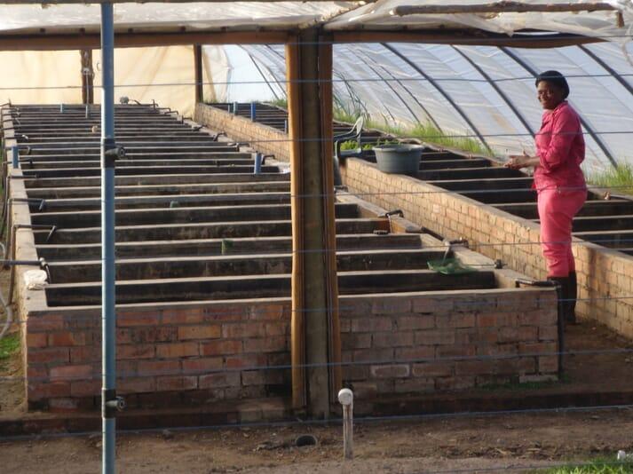 A tilapia farm in Limpopo province