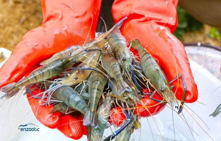 Female giant freshwater prawns (M rosenbergii) perform better in aquaculture