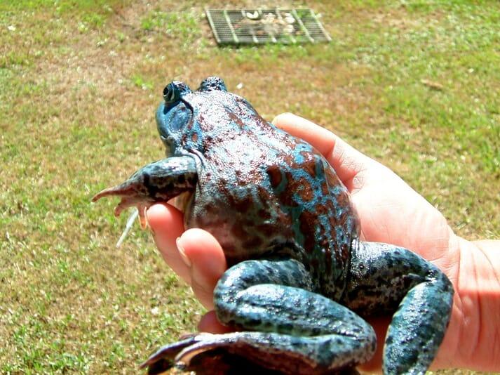 A rare blue American bullfrog