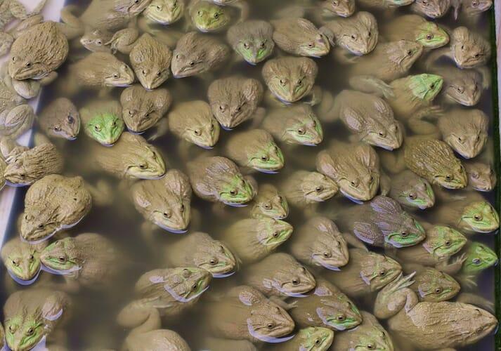 A frog farm in Thailand