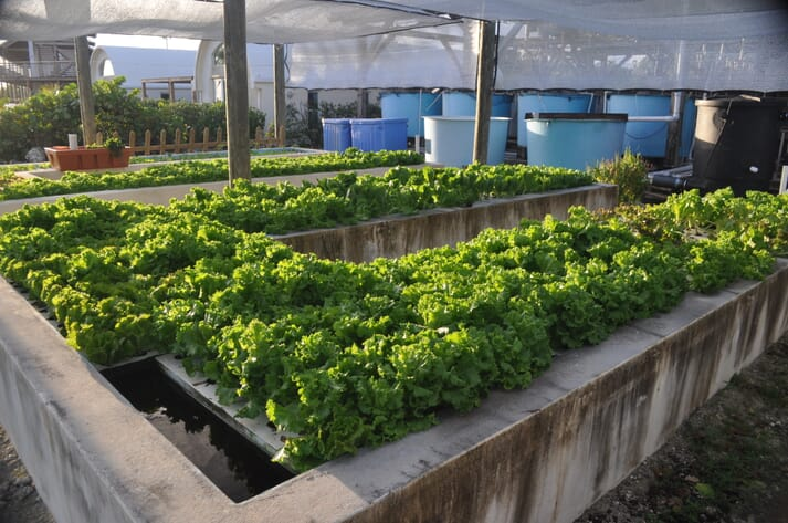 A successful aquaponics facility in the Bahamas