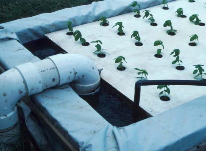 Basil seedlings in deep-water raft culture