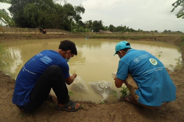 Local partner staff and FAO staff releasing fish fingerlings in one of the established fish ponds in Kyauk Phyu Taung village, Buthidaung Township of Rakhine State