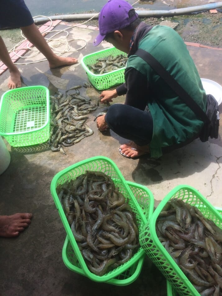 Harvesting shrimp during a nutritious pond trial in Vietnam