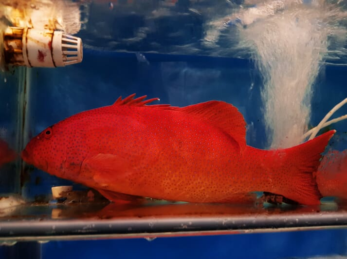Leopard coral trout (Plectropomus leopardus) fetches up to $300/kg in China