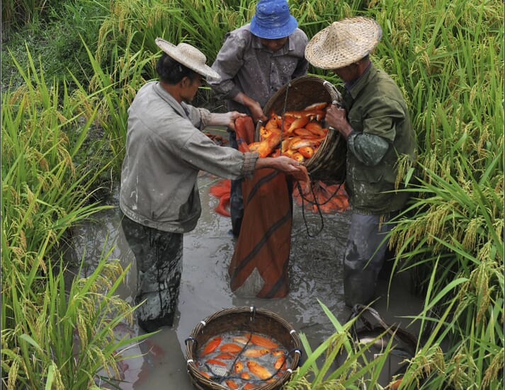 The co-culture of rice and fish is widely practised in Qingtian, China