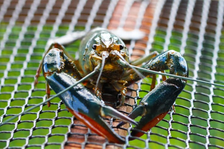 A crayfish on a mesh