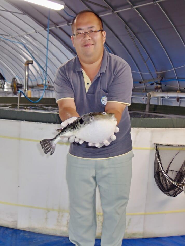 A fully-grown farmed fugu