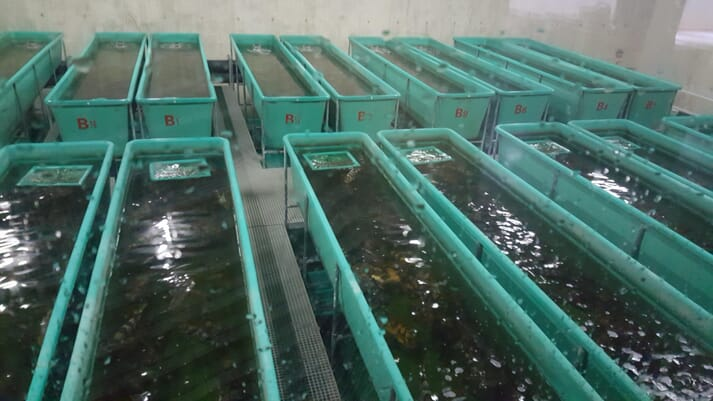 RecircInvest Biotech (RIB) has developed a very economical RAS for grouper production