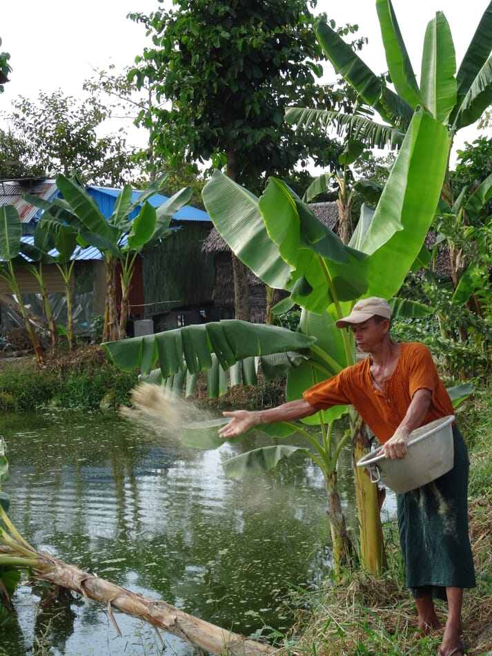 Feeding fish rice bran on a small commercial farm in Myanmar