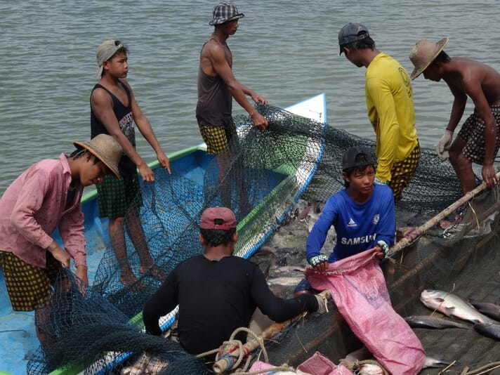 Harvesting carp at a large commercial farm in Myanmar