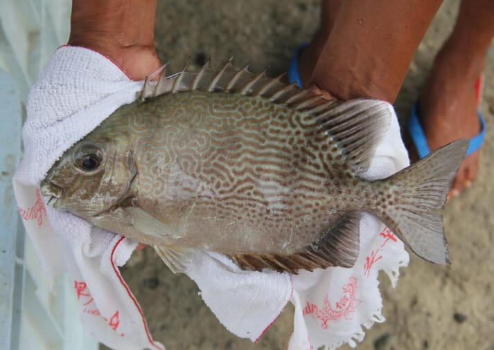 Species to be farmed include rabbitfish