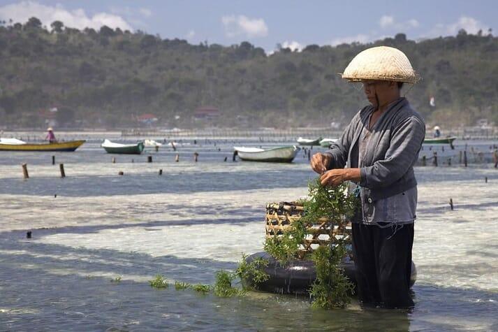 A seaweed farmer in Nusa Lembongan, Bali