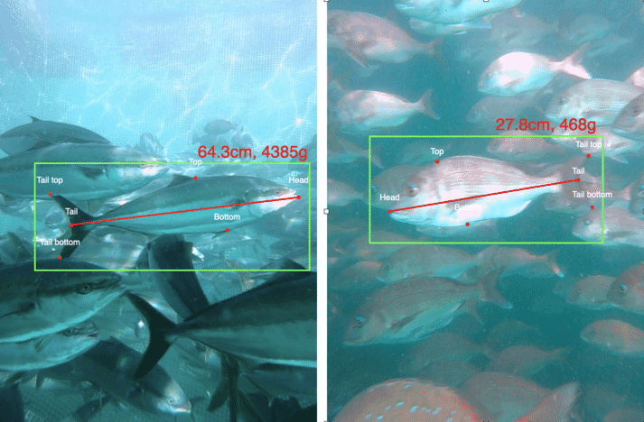 Umitron Lens has already been deployed in yellowtail (left) and red sea bream (right) farms