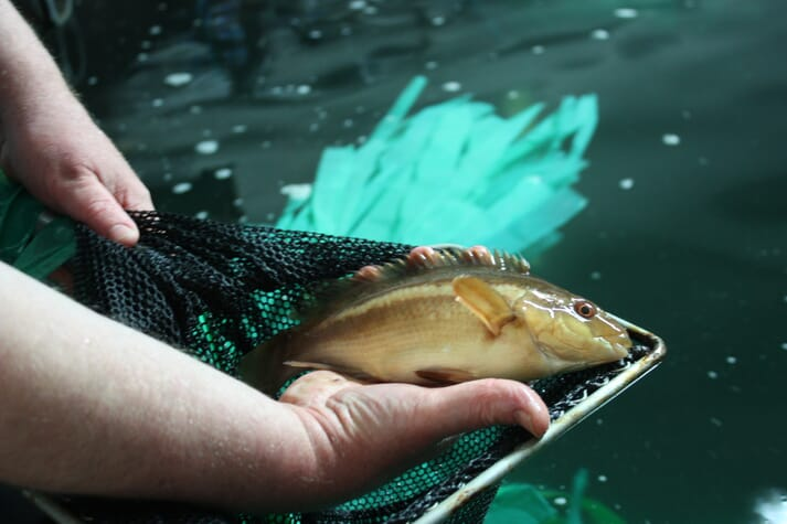 Ballan wrasse broodstock at Marine Harvest's Machrihanish hatchery, Scotland.