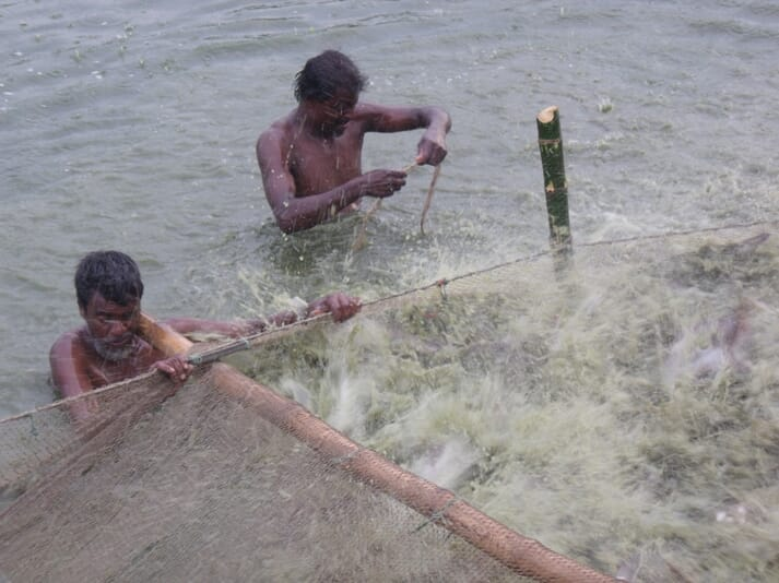 Harvesting pangasius in a relatively intensive aquaculture system in Bangladesh