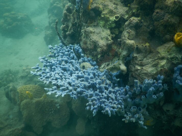 Coming in all shapes, colors and sizes, the sponges of Bocas Del Toro are a delight for the snorkel enthusiast.