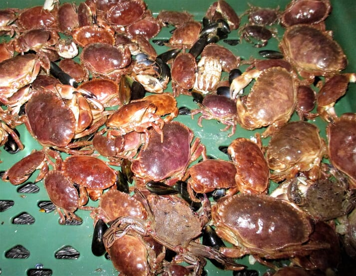 Brown a velvet crabs live on the mussel lines and are returned to the water after the mussels are harvested.