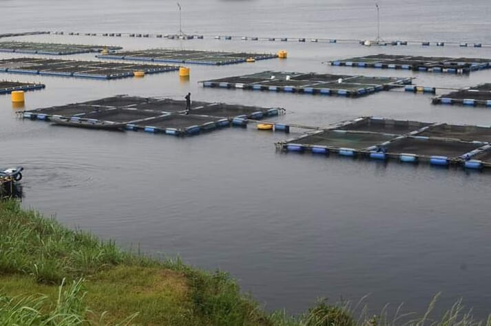 A tilapia farm on Lake Volta in West Africa